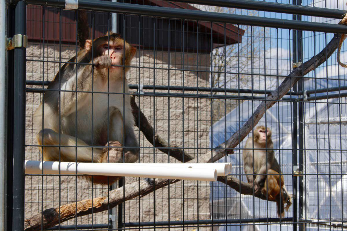 More research labs are retiring monkeys when studies finish