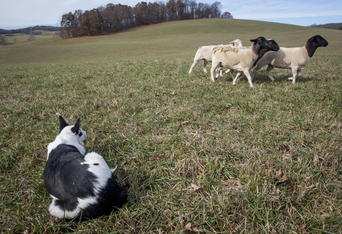 1115_dnr_Sheep Dogs_6