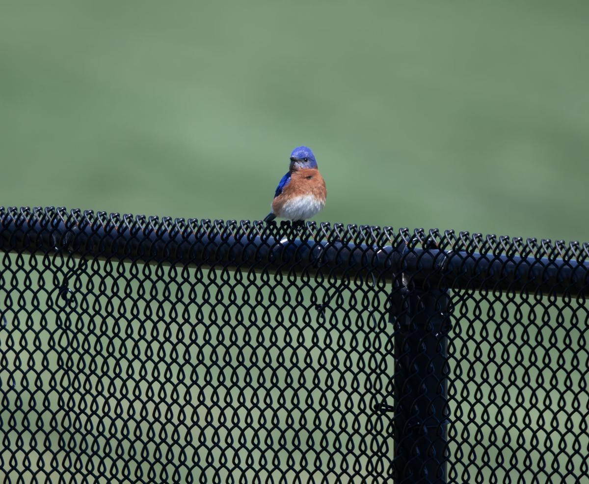 Eastern Bluebird-0151-2