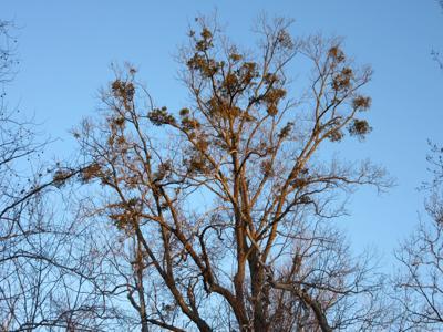 Virginia Is For Lovers Of American Mistletoe Weekend Dnronline Com