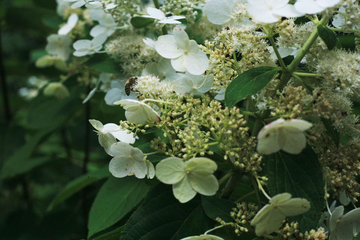 bee on a hydrangea