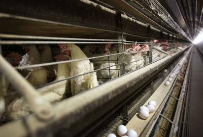 China Chicken Trade