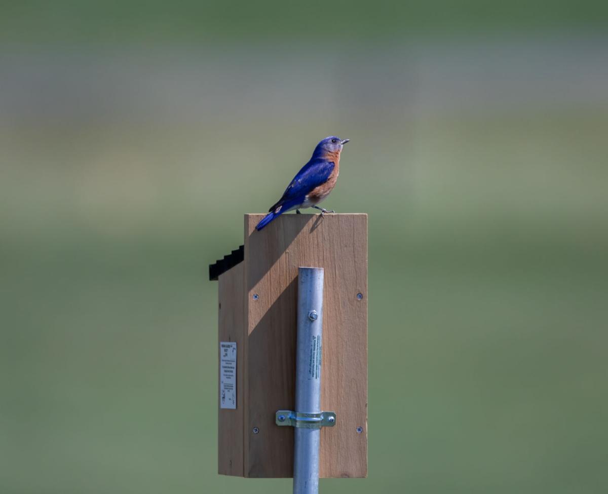Eastern Bluebird-0131-