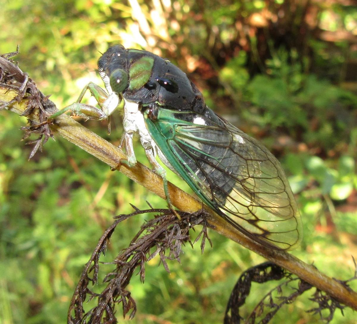 Cicada Photo