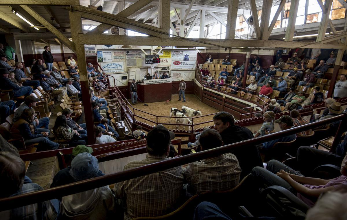 0513_dnr_Cattle Auction_1