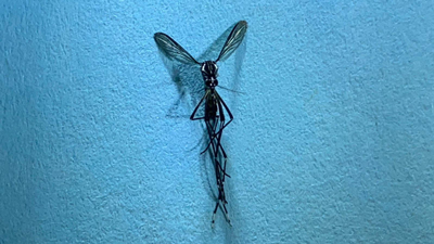 Aedes Aegypti Mosquitoes Identified in Nebraska