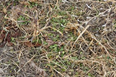 Dormant spraying Alfalfa weeds