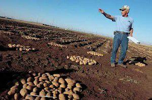 Beauty of new potato varieties is not only skin deep
