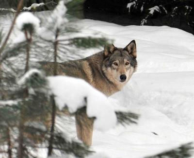 Oregon wolf numbers could trigger delisting in 2015