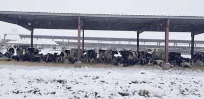 Blizzard kills dairy cows