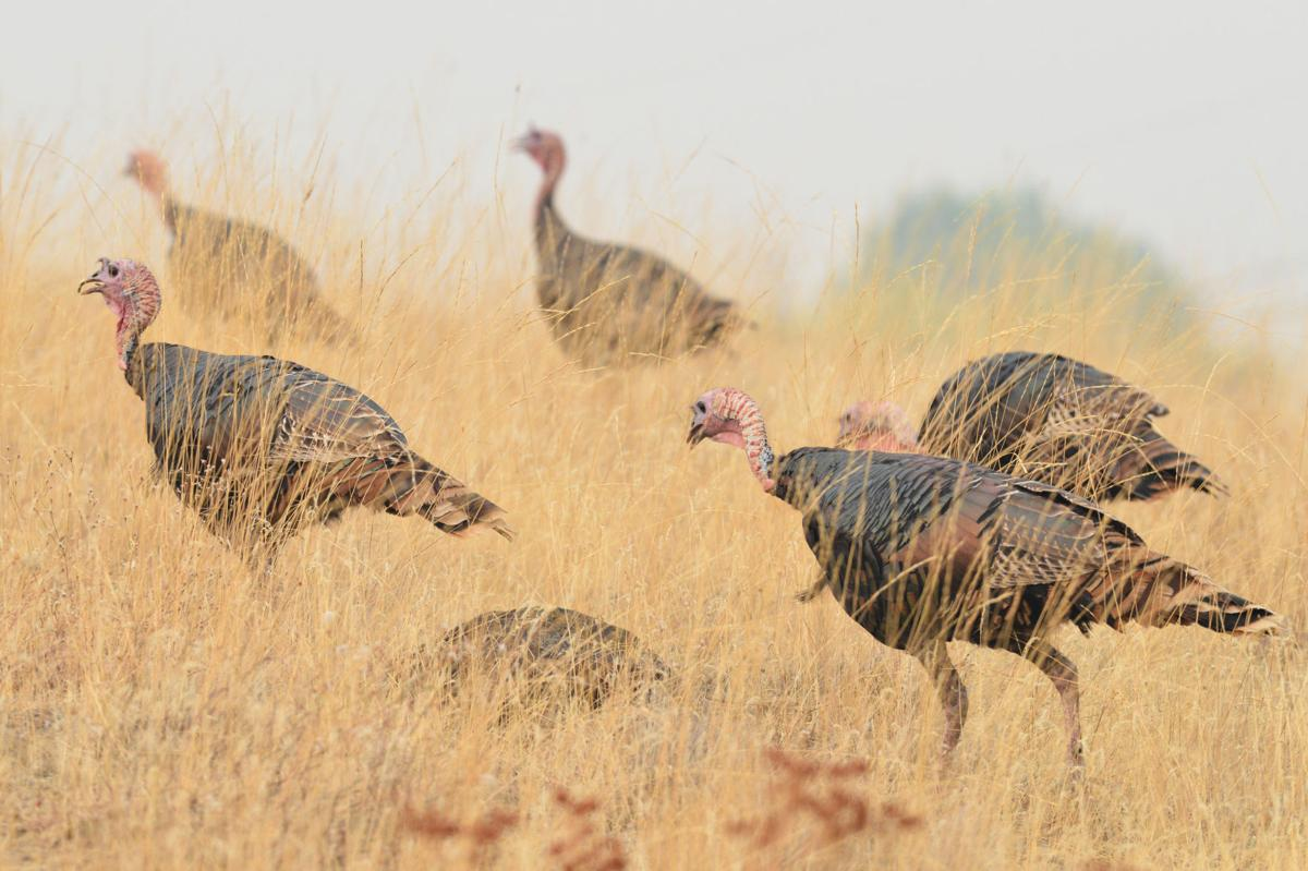 Pilot Rock City Council looks to ODFW for turkey solutions