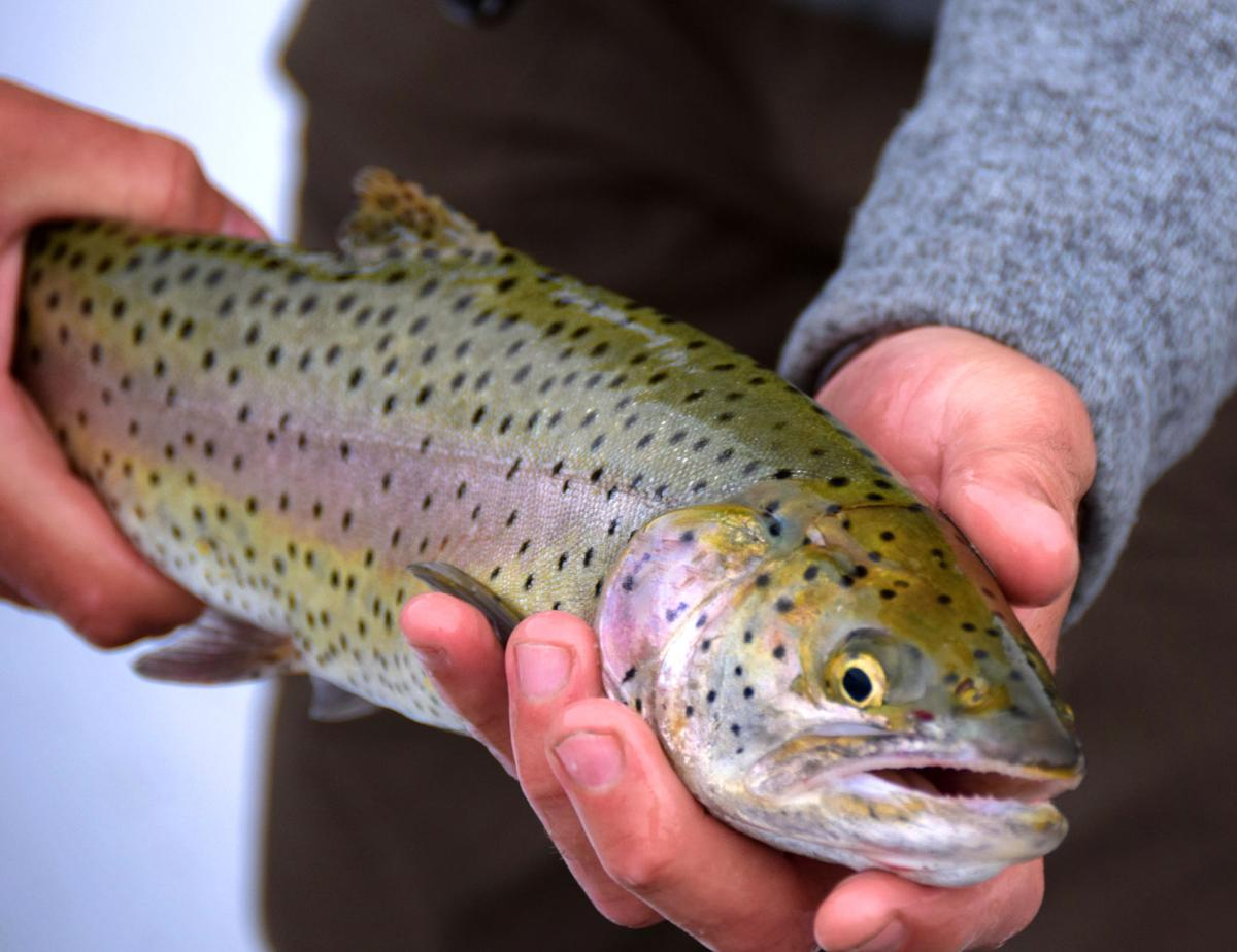 Trumbo - Wild Spring Trout (2).jpg