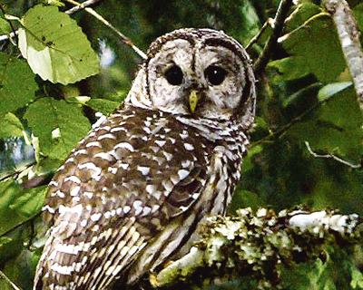 Court approves killing barred owls for spotted owl protection