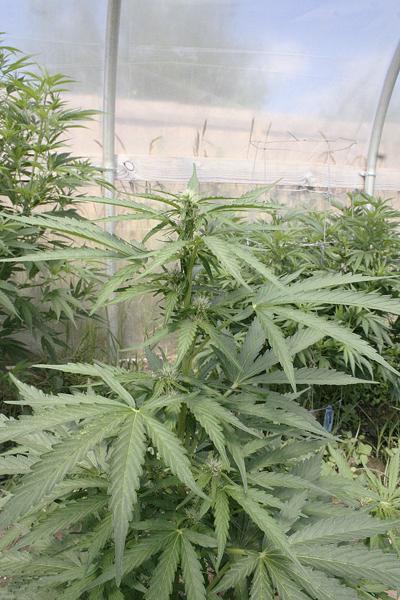 Oregon marijuana racketeering lawsuit settled