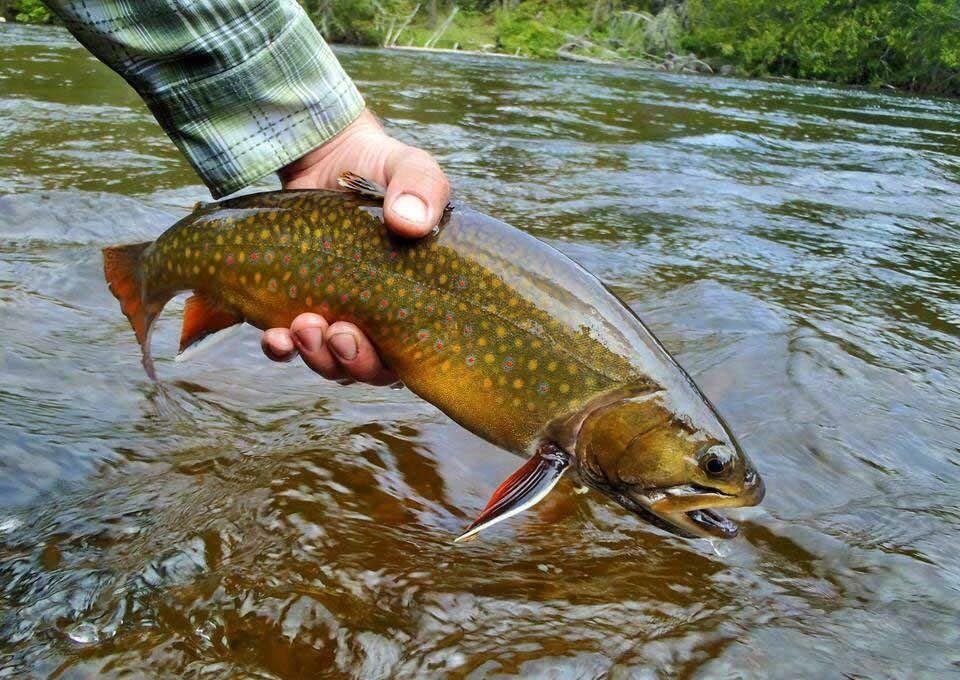 brook trout.jpeg