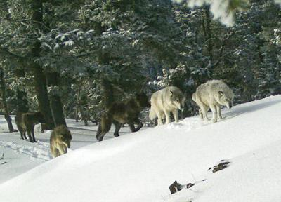 2 ranchers in eastern Oregon to try new strategy with wolves
