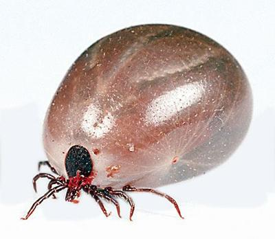 Tick-borne spotted fever found in Morrow County