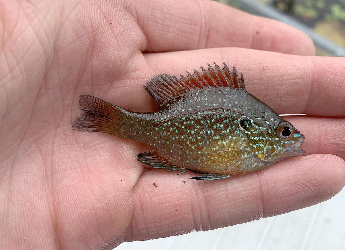 Western Dollar sunfish.jpeg