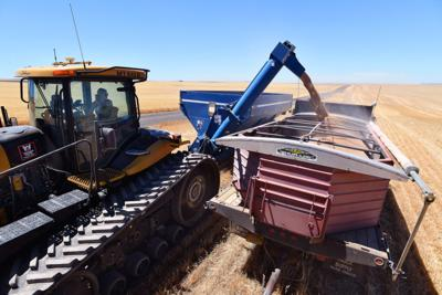 Hot, dry spring cuts into wheat harvest