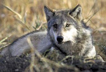 Wolf policy draws outrage