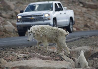 Grand Teton plan would trap or kill goats to help bighorns