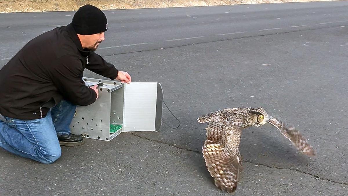 Truck driver releases owl he saved back into wild
