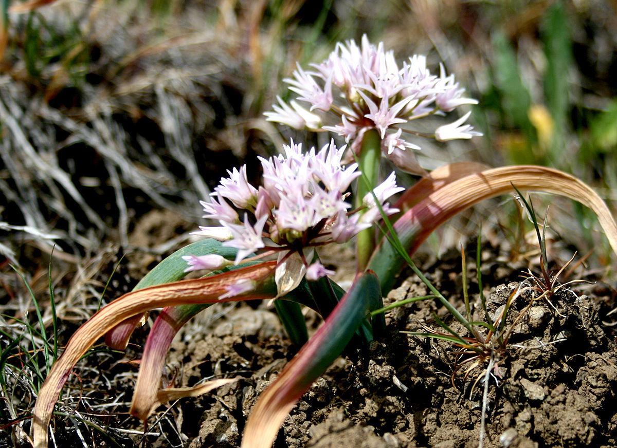 Allium tolmiei.JPG