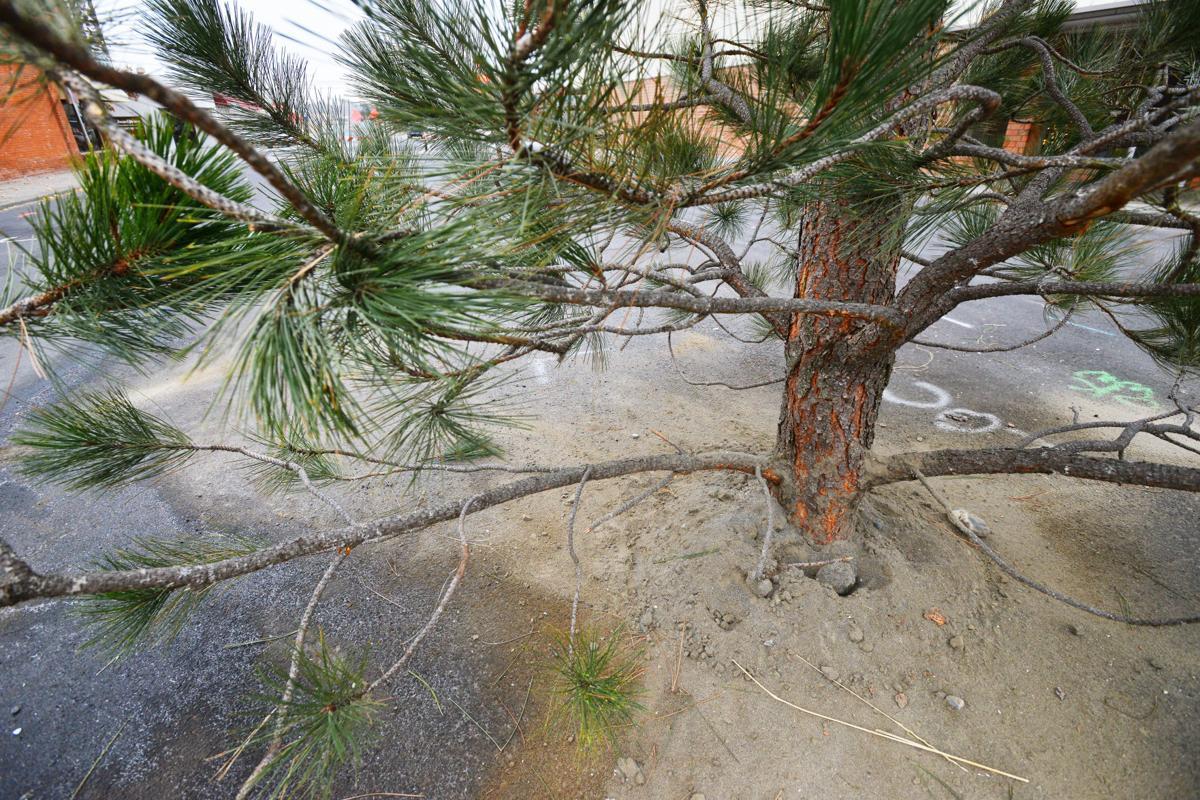 Hermiston City puts tree in street to celebrate the holidays