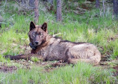 ODFW Oregon gray wolf 2.jpg