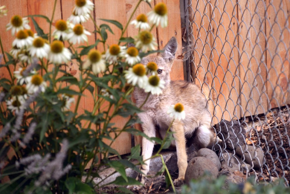 Coyote pup takes wrong turn
