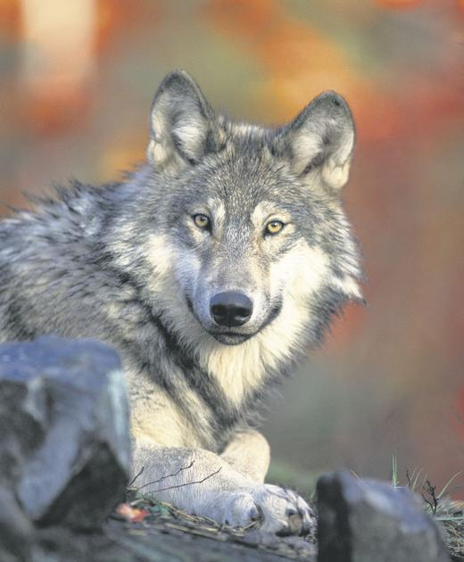 6696ca39c5698a Oregon governor  confident  in wolf shooting investigation