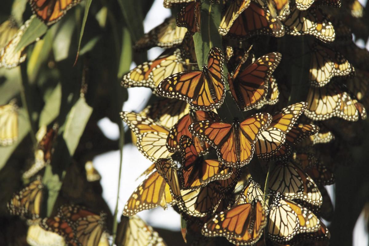 Trumbo - Western Monarchs (3).jpg