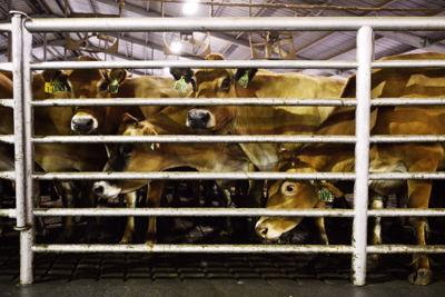 BOARDMAN County's dairy cow population to hit 100,000