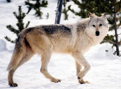 Anti-wolf Grant County sheriff tries reading between legal lines