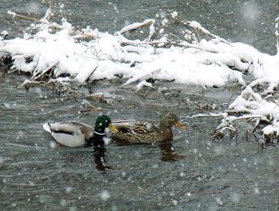 Ducks undeterred on frigid water