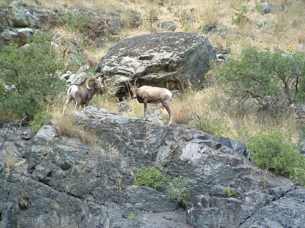 Bighorn sheep_Hells Canyon_Gary Lewis 1.jpg