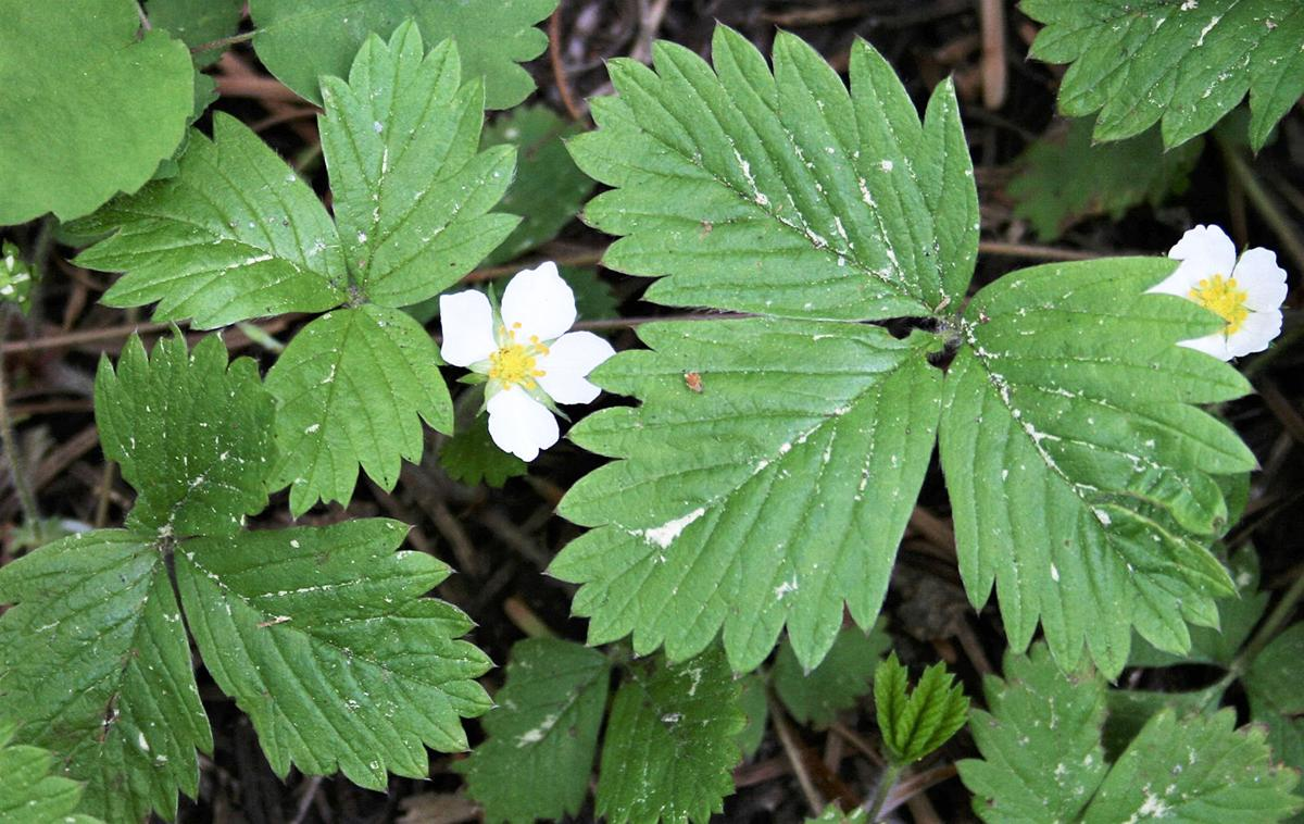 Fragaria virginia