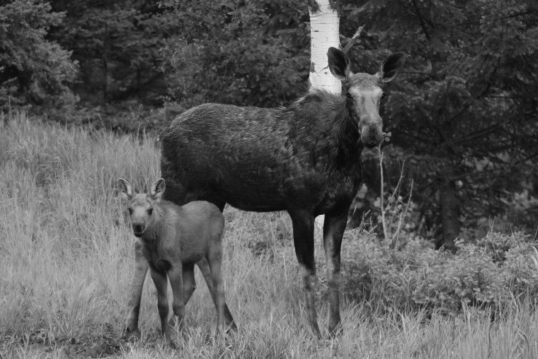 Despite setbacks moose still thriving in Blue Mountains