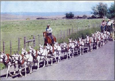 Mule Days honors Pendleton man