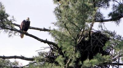 Bald eagle numbers saw increase in 2019