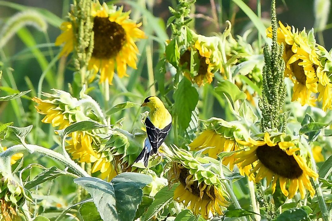 Sunflower finch.jpg