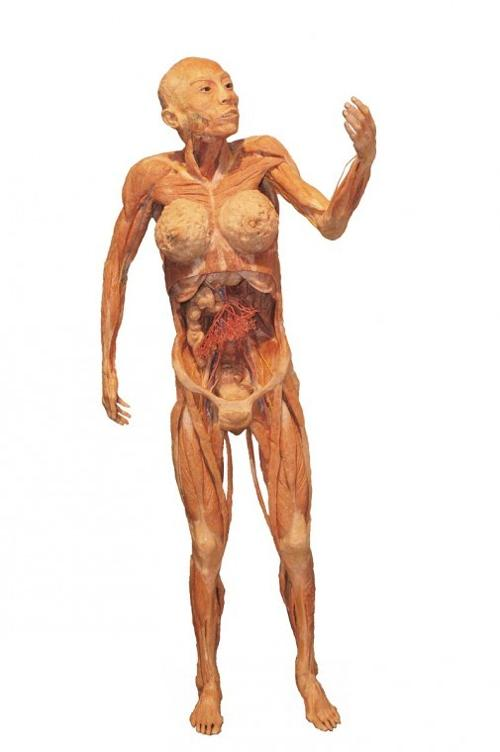 Display Of A Female Body At The Bodies Human Exhibit
