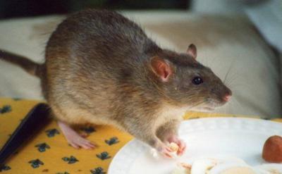 Mujer acepta entregar 320 ratas que tenía por mascotas
