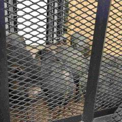 Invasión de cerdos vietnamitas en Fajardo