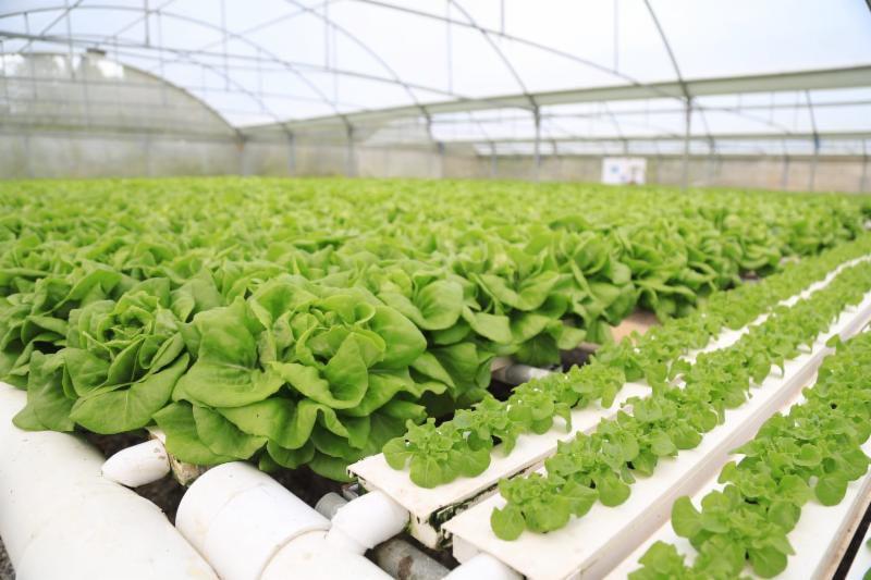 Agricultura anuncia expansión de proyecto de hidropónicos en Ciales