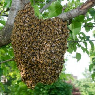 Anciano muere víctima de enjambre de abejas