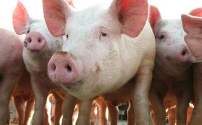 Por llegar la carne porcina de Brasil
