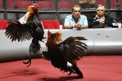 Circuito de Boston confirma prohibición peleas de gallo en la Isla