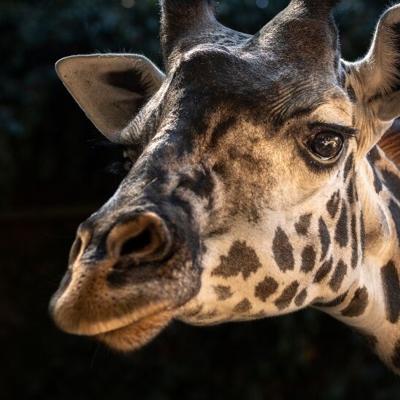 Fallece jirafa en zoológico de Los Ángeles tras parir cría muerta