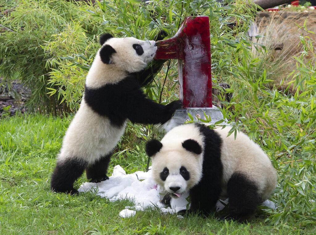 Germany Panda Birthday